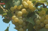 Vinobranie v Pannonii pri Hlohovci
